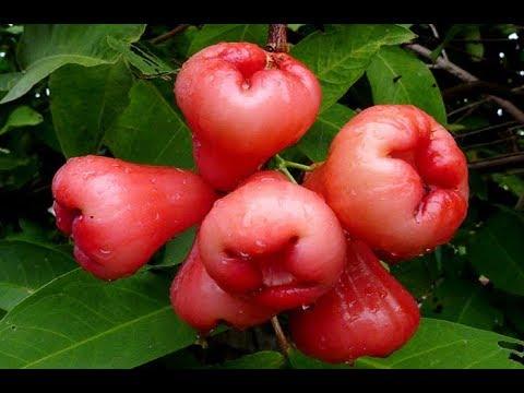 God's Fruit, Rose Apple Juice Refresh The Liver, Cure Diabetes, Prevents Cancer!