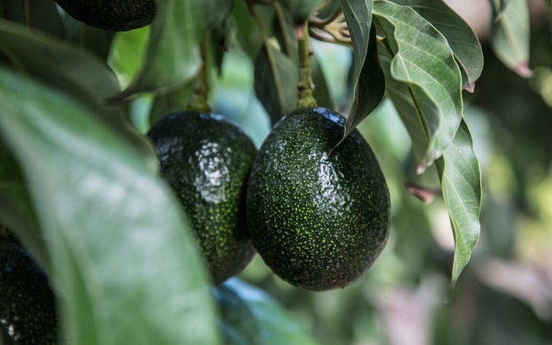How to Grow Avocados | Mitre 10 Easy As Garden